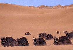Tatooine - Plaine des Banthas